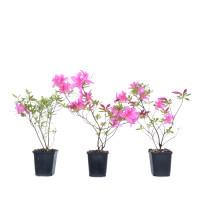 Rhododendron x obtusum 'Sakura Sakasa' (Wilson 44)