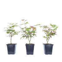 Acer palmatum 'Deshojo'