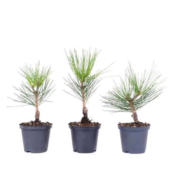 Pinus thunbergii var. corticosa