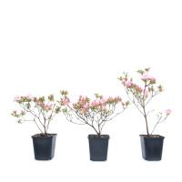 Rhododendron indicum 'Kakuo'