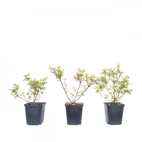 Rhododendron indicum 'Fumiko'