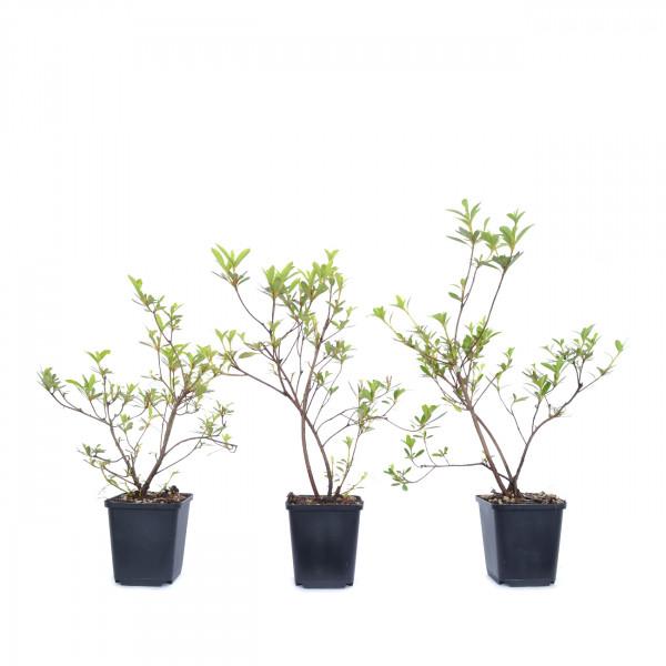 Rhododendron indicum 'Kogetsu'
