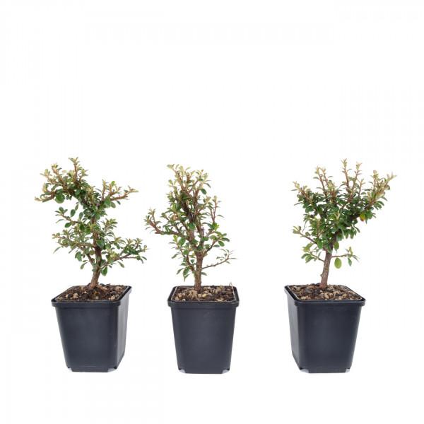 Cotoneaster dammeri 'Skogholm'