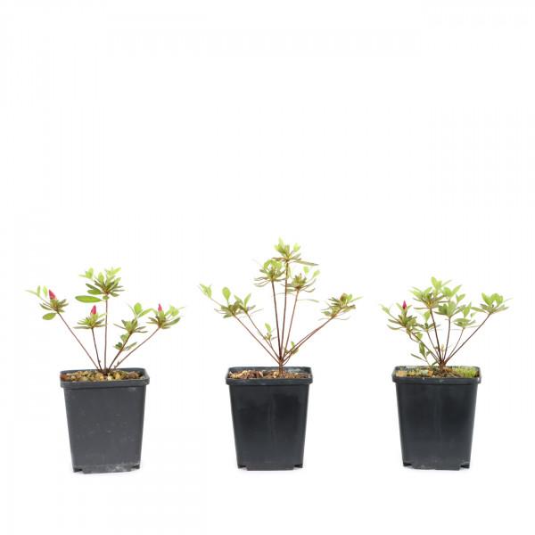 Rhododendron indicum 'Yoshinogawa'