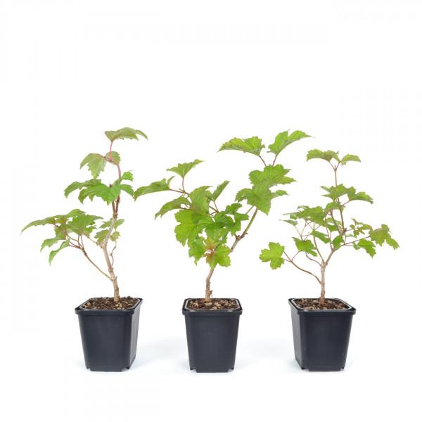 Viburnum opolus
