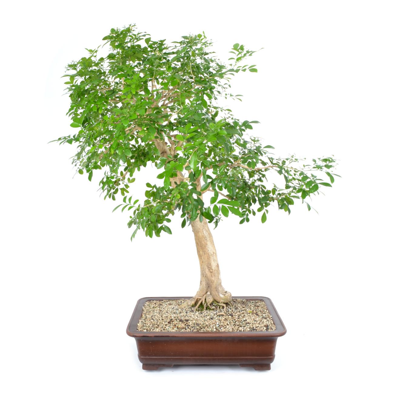 Murraya Paniculata Tropische Bonsai Bonsai Indoor Bonsai Bonsaischule Enger