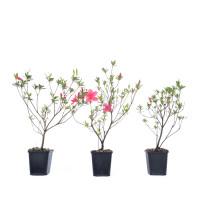 Rhododendron indicum 'Osakazuki'