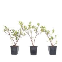Rhododendron indicum 'Shiryu-no-Homare'