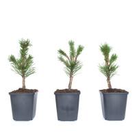 Pinus mugo 'Klostergrün'