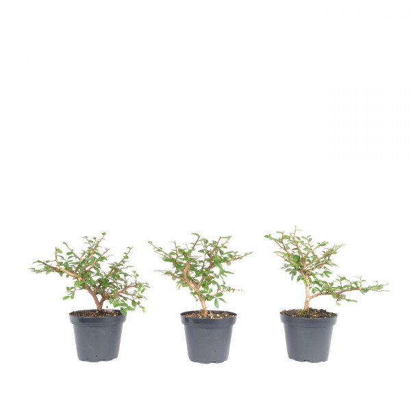 Ulmus parvifolia 'Taiwan'