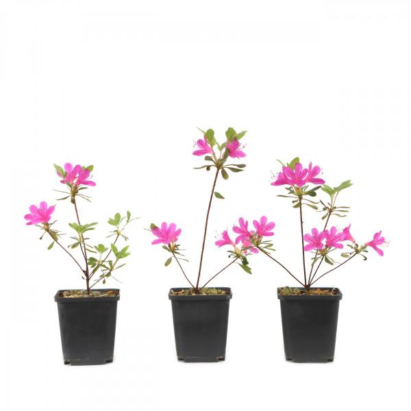 Rhododendron indicum 'Kanpai'