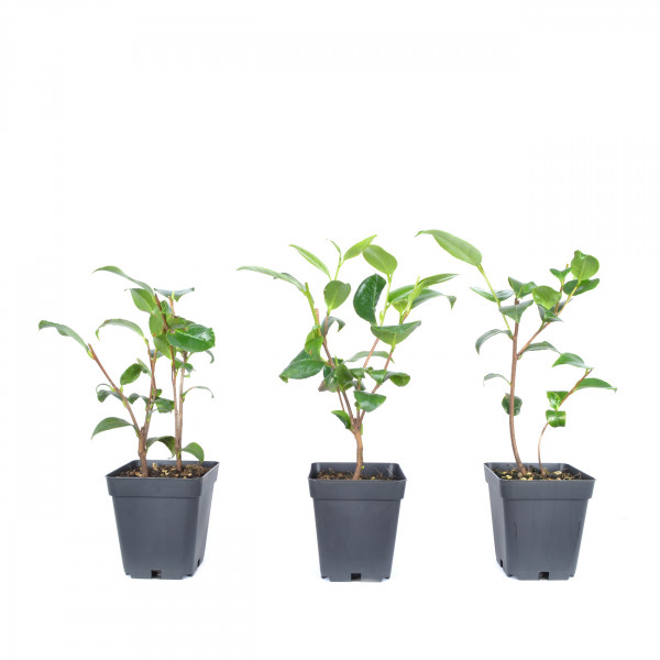 Camellia japonica 'Chamaeloen'
