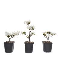 Rhododendron indicum 'Schneewittchen'