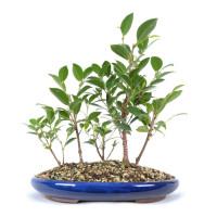 Ficus microcarpa 'Tiger Bark'