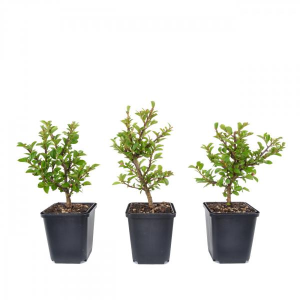 Cotoneaster praecox