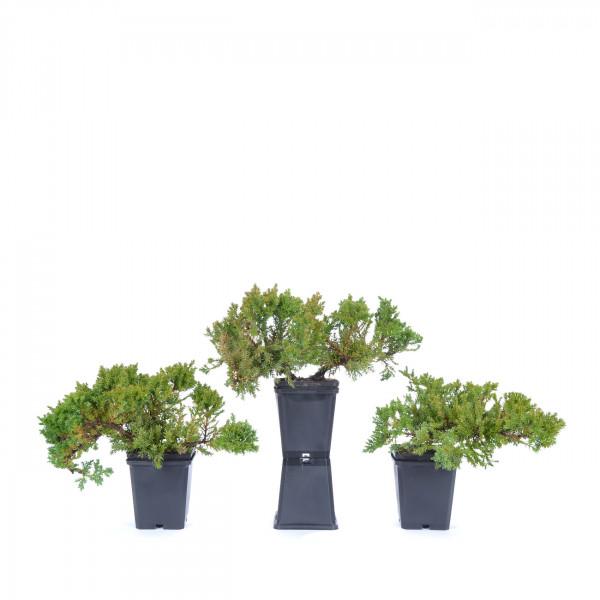 Juniperus procumbens 'Nana'