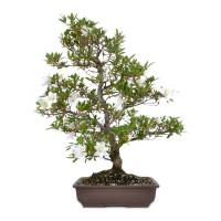 Rhododendron indicum 'Hakuba'