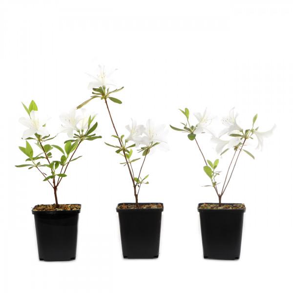 Rhododendron indicum 'Palestrina'