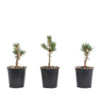 Pinus parviflora 'Zuisho'