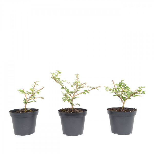 Ulmus parvifolia 'Variegata'