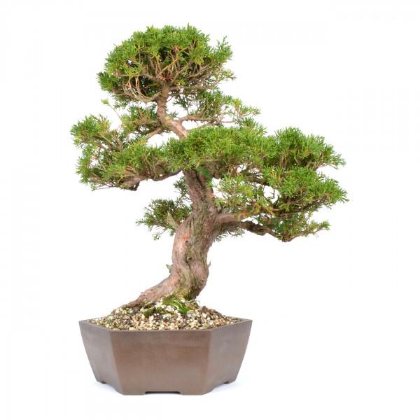 Juniperus chinensis 'Itoigawa'
